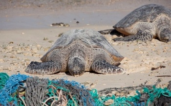 Even small bits of plastic bags can get trapped in a turtle's stomach, causing an untimely death. <br />(NOAA)