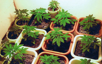 Supporter of the new state law legalizing adult possession of marijuana in the Bay State are concerned about lawmakers possibly doing away with key parts of it, including a home-grow provision. (A7nubis/Wikimedia Commons)