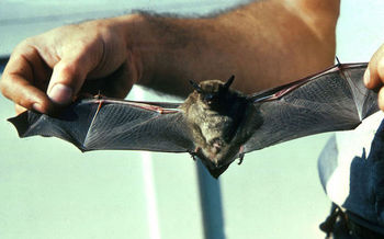 Pennsylvania bat populations have been devastated by human activity and disease. Now, they face another threat from oil and gas development. (Don Pfritzer/Wikimedia Commons)