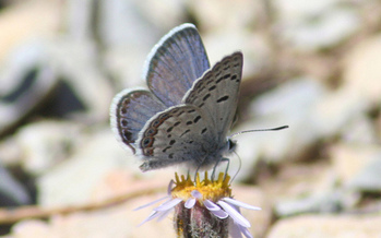 The Mount Charleston Blue Butterfly is one of 22 endangered species in Nevada. (USFWS)