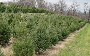 Pennsylvania has more than 1,300 Christmas tree farms. (CBF Photo)