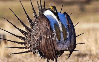 The Endangered Species Coalition has released its Top 10 list of species in need of protections, including the greater sage-grouse. (BLM)