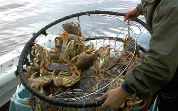 Crab fishermen on the West Coast are on strike because of a price drop for Dungeness crab. (J. Newman/California Dept. of Fish and Wildlife)
