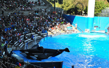 Tilikum, the orca who died late last week, lived most of his life at SeaWorld. (Christian Benseler)