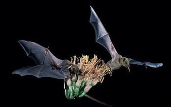 The lesser long-nosed bat, native to New Mexico, has recovered from near extinction, so federal officials are proposing that it be taken off the endangered species list. (U.S. Fish and Wildlife Service)