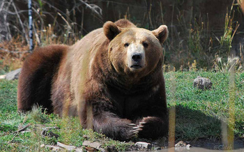 The U.S. Fish and Wildlife Service has delayed its decision to take the grizzly bear off the endangered species list. (Pat (Cletch) Williams/Flickr)