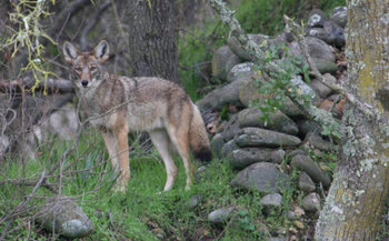 Senate Bill 268, which makes it illegal to kill coyotes as part of a contest with prizes, passed in the Senate yesterday. (U.S. Fish & Wildlife Service)