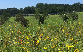 Strata Solar in Raleigh has begun planting pollinator-friendly plants around the company's solar farms, including this one near Charlotte. (Strata Solar)
