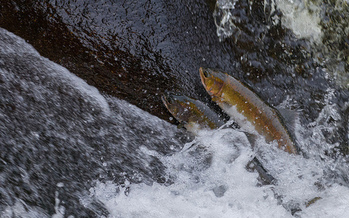 Conservation groups say salmon are having a hard time migrating from the Pacific Ocean to Idaho, in part because of four lower Snake River dams. (Andrew E. Russell/Flickr)