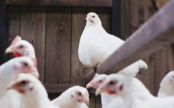 Some farmers use antibiotics to help chickens grow faster and prevent disease in crowded cages. (cdc.gov)