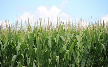 Illinois farmland covers nearly 27 million acres, and corn is grown on a big chunk of it. (usda.gov)