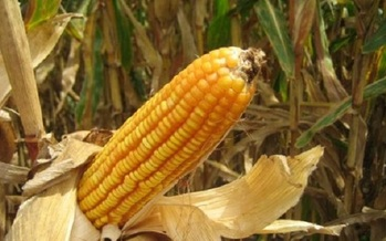 Much of the corn grown in Indiana is used for grain, but popcorn also is a top commodity. (usda.gov)