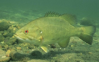 Selenium from pollution released by the Brunner Island coal plant might explain tumors and lesions found on smallmouth bass in local waterways, environmental activists say. (Maxpixel)