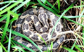Snakes have been dying all over the Midwest from a fungus similar to White Nose Syndrome. (University of Illinois)