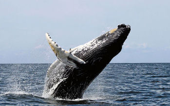 Drilling in the Atlantic would threaten critical habitat for whales, fish and coral, environmental advocates say. (Wwelles14/Wikimedia Commons)