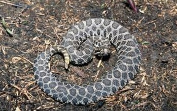 Small numbers of the Eastern Massasauga rattlesnake live in Chariton, Linn, and Holt counties.