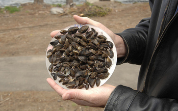 Invasive zebra mussels have been in the Great Lakes since the 1980s, crowding out native species and damaging the underwater environment. (U.S. Department of Agriculture)
