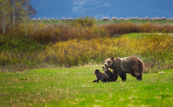 The U.S. Fish and Wildlife Service has taken grizzlies off the Endangered Species List after more than four decades of protection. (Getty Images)