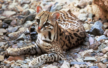 Endangered ocelots have expanded their territory in Arizona, so advocates sued to get federal agencies to study ways to avoid accidentally killing them when targeting coyotes.(Tom Smylie/USFWS)