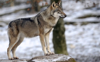 People are successfully coexisting with wolves, says a Wisconsin conservationist, who opposes changes to the Endangered Species Act. (AFP/Getty Images)