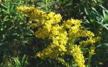 Climate change is increasing both ragweed pollen and ozone levels, according to a new report. (mensatic/morguefile)