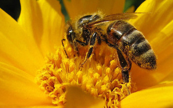 Bees are important pollinators for plants and flowers, but in the past year, populations nationwide have dropped by one-third. (Andreas/Flickr)
