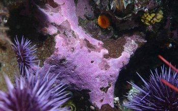 Purple Coral thrives in the Farallones National Marine Sanctuary off the California coast, which is under federal review. (Dr. Steve Lonhart)