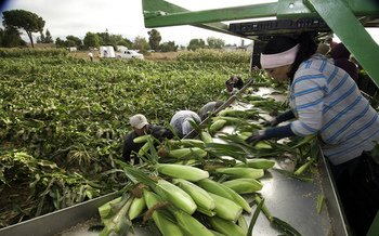 Chlorpyrifos is used on corn, wheat, apples, citrus, strawberries and other foods. (USDA)