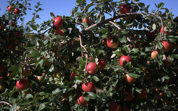 Apples, oranges, strawberries and many food staples are treated with chlorpyrifos. (MikeyMoose/Wikimedia Commons)<br />