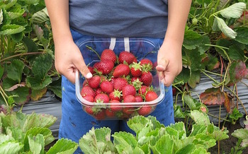 Chlorpyrifos is used on strawberries, fruit trees, corn, wheat and other food staples. (Shamefaced/Pixabay)