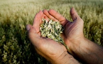 Carbon dioxide strips nutrients out of wheat, rice, peas and other crops. (usda.gov)