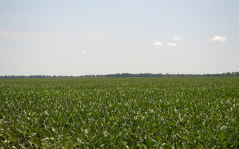 For the first time, the soybean crop in Minnesota this year is as big as the corn crop. (United Soybean Board)
