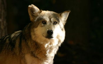 Proponents of Mexican wolves say they are an invaluable part of their ecosystems, helping to control diseases and providing food and shelter for hundreds of other species. (Brian Gratwicke/Wikimedia Commons)