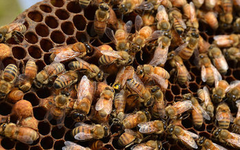 Beekeepers only saw a 33 percent dip in colony numbers over the last year, a smaller decrease than in years past. (Marisa Lubec/U.S. Geological Survey)