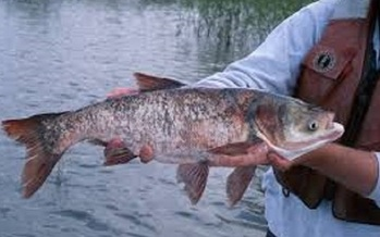 This summer, an eight-pound silver carp was captured just nine miles from Lake Michigan. (dnr.gov)