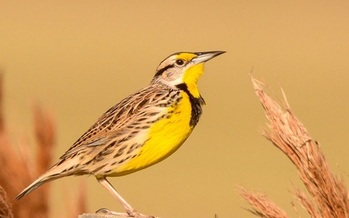 Grassland birds suffered a nearly 50 percent population drop before easements were introduced in 2003. (nwf.org)