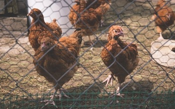 Backyard chicken flocks are becoming more popular with the rise of organic foods. (freestocks.org)
