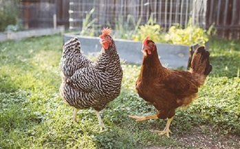 Many chickens that are sold at the local feed store come from large factory farms. (cdc.gov)