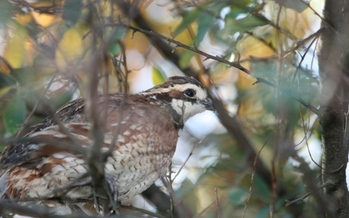 The northern bobwhite is one of America's most popular and widely distributed game birds. (illinois.gov)