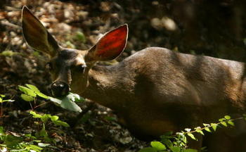 Mule deer herds have declined by 40 percent around the heavily developed gas fields near Pinedale. (Getty Images)