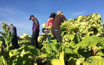 The International Union of Food, Agricultural, Hotel, Restaurant, Catering, Tobacco and Allied Workers' Associations (IUF) is calling for additional protections for tobacco farm workers in North Carolina and the rest of the world.  (UGA College of Ag/flickr)