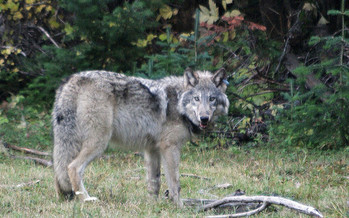 Eighteen conservation groups sent a letter to Gov. Kate Brown asking her to halt the killing of wolves in Northeast Oregon. (Oregon Department of Fish and Wildlife)