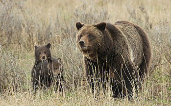 Estimates from 2016 found there are about 690 grizzly bears in the Greater Yellowstone Ecosystem. (Jim Peaco/Yellowstone National Park)
