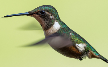 Research has shown the same pesticides that are wiping out bees are impacting hummingbirds as well. (foe.org)