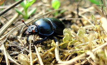 Bugs such as the beetle are integral to rejuvenating soil, also making them vital to people who work the land. (Pixabay)