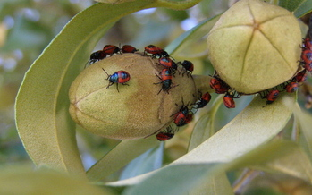 Ladybugs serve as beneficial predators of plant pests such as aphids, white flies and mites. (s349142/morguefile)
