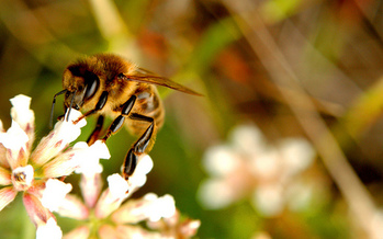 Pesticide use is blamed for the decline in bee numbers. (joanvincent/Flickr)