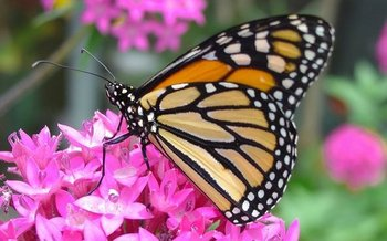The Monarch butterfly thrives among flowering plants like milkweed. (Pixabay)