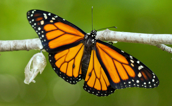 A Monarch butterfly, newly emerged from its chrysalis, stretches its wings in preparation prepare for its annual migration from Mexico to Canada. (GettyImages)