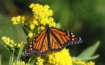 Populations of monarch butterflies and other pollinators have declined sharply. (bbarlow/Pixabay)